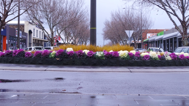 Colour kale brightening up the wintry streetscapes of Warrnambool