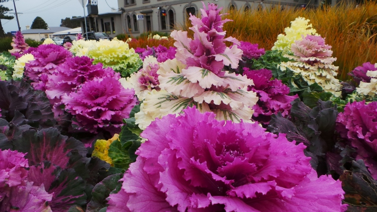 Brilliant foliage contrast of ornamental chinese cabbage plants blooming in Warrnambool's Timor/Fairy streets roundabout . picture by Jenny Fawcett 2014