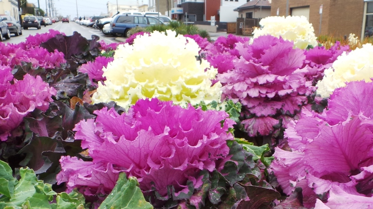 ornamental chinese cabbage plants blooming in Warrnambool Roundabout. picture by Jenny Fawcett 2014